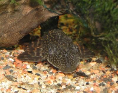 Помогите опознать рыбку опознание рыб  - DSC03043.JPG