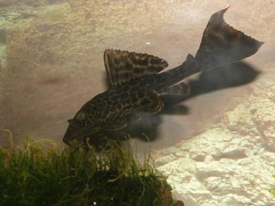 Помогите опознать рыбку опознание рыб  - DSC03056.JPG