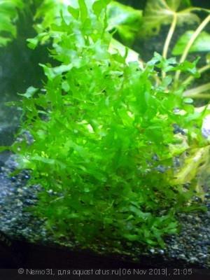 Аквариумные растения - опознание растений. - Foto 1.jpg