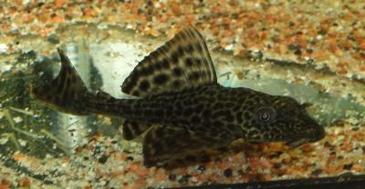 Помогите опознать рыбку опознание рыб  - DSC03069.JPG