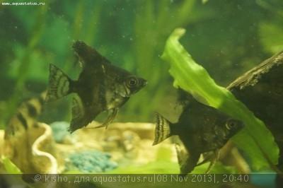 Помогите опознать рыбку опознание рыб  - _DSC2546.JPG