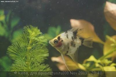 Помогите опознать рыбку опознание рыб  - _DSC2551.JPG