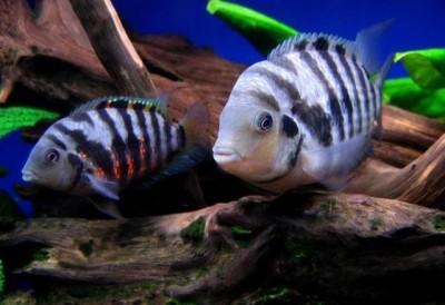 Мой аквариум 80 литров лёва  - 3838278.jpg