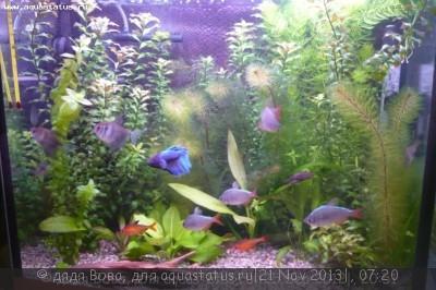Аквариумные рыбки - долгожители - 27102.jpg