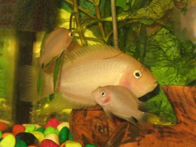 Помогите определить рыбу - severum1.jpg