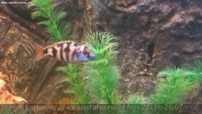 Помогите опознать рыбку опознание рыб  - IMAG0251.jpg