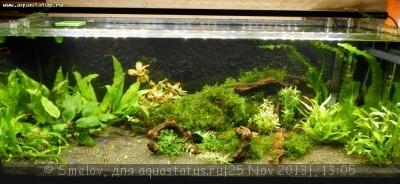 Мой аквариум 100 литров Smelov  - PB250640.JPG