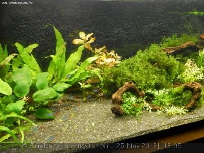 Мой аквариум 100 литров Smelov  - PB250641.JPG