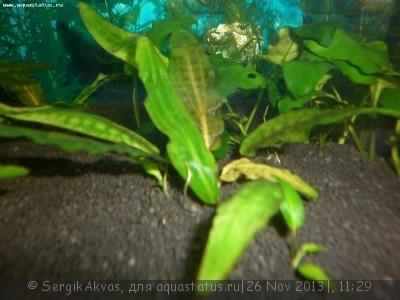 Опознание аквариумных растений - P1000288.JPG