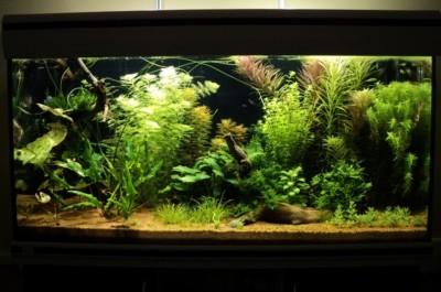 Мои аквариумы Алексей7  - Копия (2) DSC00344.JPG