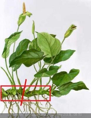 Опознание аквариумных растений - kaapiokeihaslehtianubiasbarter.jpg