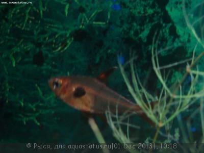 Помогите опознать рыбку опознание рыб  - орнатус (2).JPG