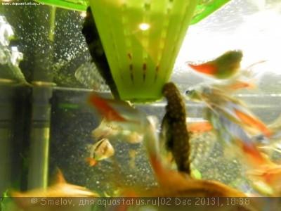 Мой аквариум 100 литров Smelov  - PC020664.JPG