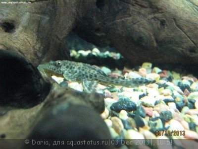 Помогите опознать рыбку опознание рыб  - Сомы 005.JPG