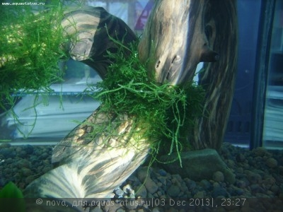 Мох Яванский - мох на коряге.jpg