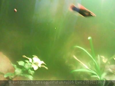 Цветение воды, зеленая вода, позеленела аквариум - Изображение_001[1].jpg