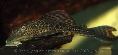 Помогите опознать рыбку опознание рыб  - Hemiancistrus_annectens.jpg