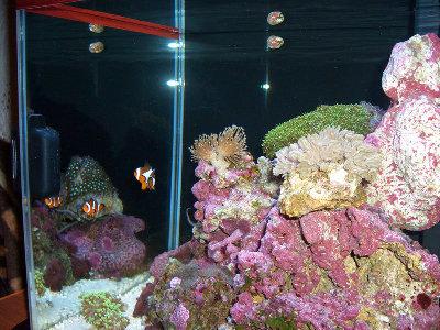 Морской мини аквариум 30 литров Roman  - CIMG0901.JPG