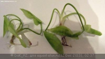 Аквариумные растения - опознание растений. - трава1_1.JPG