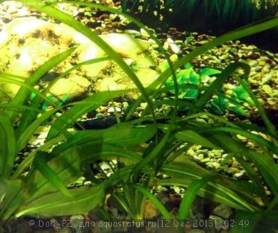 Аквариумные растения - опознание растений. - трава5_1.JPG