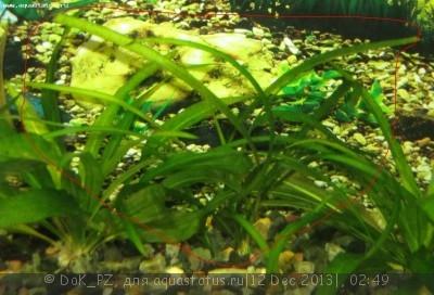 Аквариумные растения - опознание растений. - трава5_2.JPG