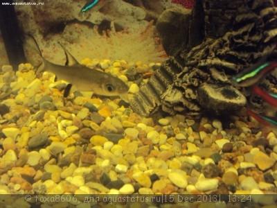 Белая точка на голове у акулий бала - DSC09348.JPG