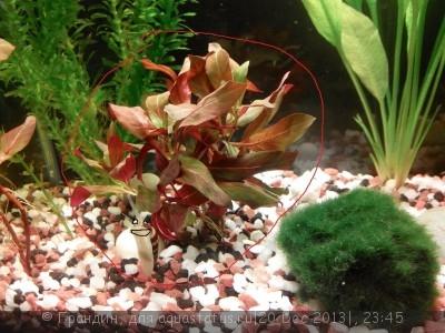 Опознание аквариумных растений - IMG_20131220_233452.jpg