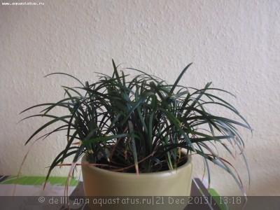 Опознание аквариумных растений - P1000562.JPG
