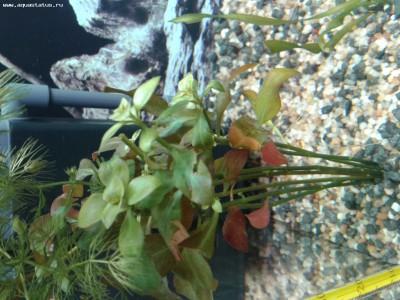 Опознание аквариумных растений - 20131221_133347.jpg