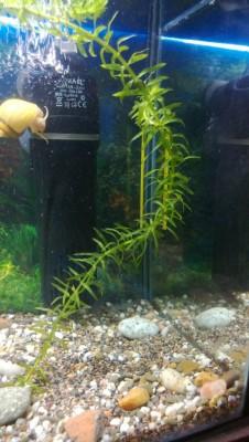 Опознание аквариумных растений - WP_20131221_026.jpg