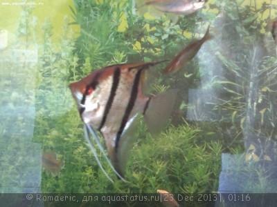 Помогите опознать рыбку опознание рыб  - 2013-12-22-402.jpg