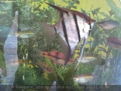 Помогите опознать рыбку опознание рыб  - 2013-12-22-404.jpg