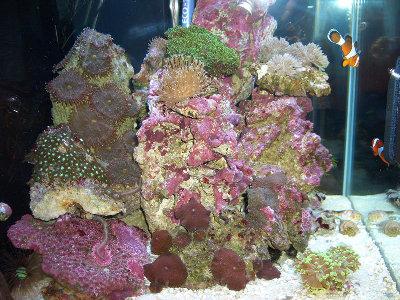 Морской мини аквариум 30 литров Roman  - CIMG0921.JPG