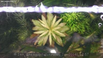 Опознание аквариумных растений - IMAG0281.jpg