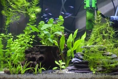 Мой любимый живой уголок - аквариум на 60 литров Mercedes  - _DSC0982.jpg