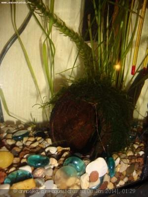 Кокосы в аквариуме - DSC03733.JPG