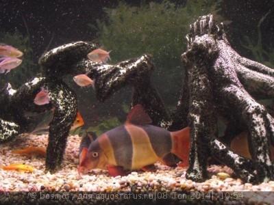 Боция Клоун в аквариуме. - Tiama.jpg