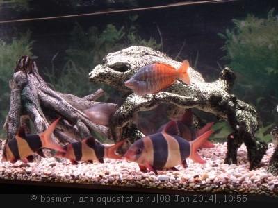 Боция Клоун в аквариуме. - DSC04067.jpg