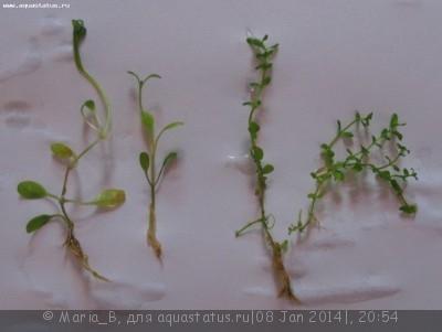 Аквариумные растения - опознание растений. - почвопокровка.jpg