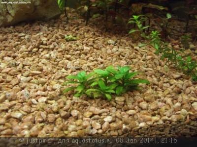 Опознание аквариумных растений - DSCF3333.jpg