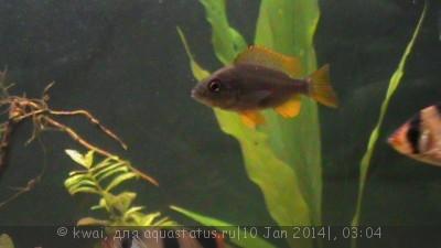 Помогите опознать рыбку опознание рыб  - DSC00260.JPG