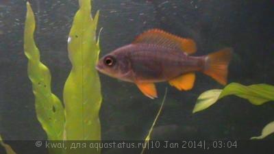 Помогите опознать рыбку опознание рыб  - DSC00281.JPG
