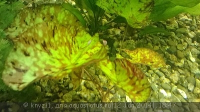 Аквариумные растения - опознание растений. - WP_20140112_001.jpg
