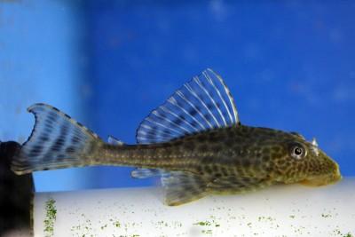 Помогите опознать рыбку опознание рыб  - Pterygoplichthys_pardalis.jpg
