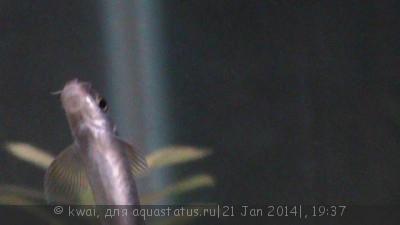 Помогите опознать рыбку опознание рыб  - DSC00366.JPG