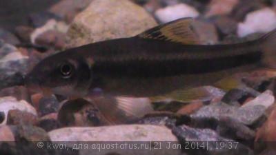 Помогите опознать рыбку опознание рыб  - DSC00386.JPG