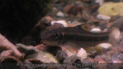 Помогите опознать рыбку опознание рыб  - DSC00409.JPG