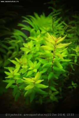 Аквариумные растения - опознание растений. - IMG_0372.JPG