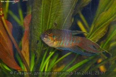 Мой аквариум 90 литров Гильфин  - IMGP4265.JPG
