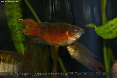 Мой аквариум 90 литров Гильфин  - IMGP4278.JPG